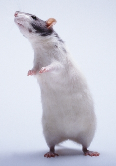 Scientists discover that mice do sing love songs to their mates!